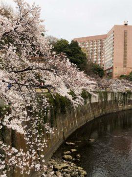 神田川沿いの桜(文京区)