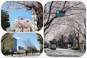2021年3月23日の桜(中野)